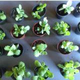 Méri Do Brasil/Plantas para lembrancinhas e vasinh
